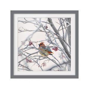 Bohemian Waxwing in the Tree Framed Photographic Art Print